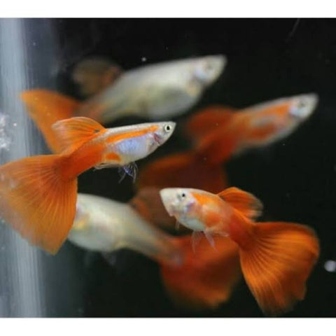 Pareja Guppy Red Blonde