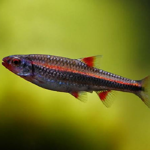 Barbo arcoiris Notropis chrosomus