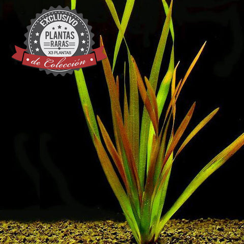 AQUAPLANTASMX - Vallisneria caulescens (X3) - Plantas