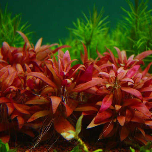 "AQUAPLANTASMX - Alternanthera reineckii ""Mini"" - Plantas"