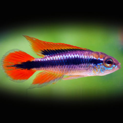 "Apistogramma agassizi ""Double Red"""
