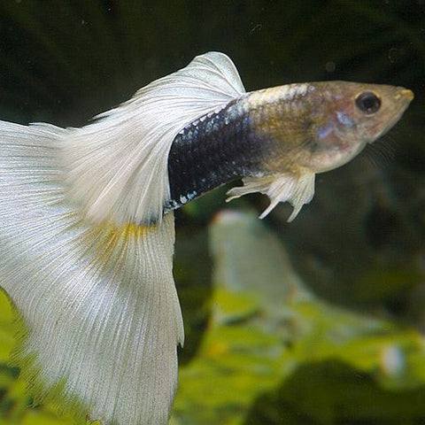 AQUAPLANTASMX - Pareja Guppy Half Black Pastel - guppys