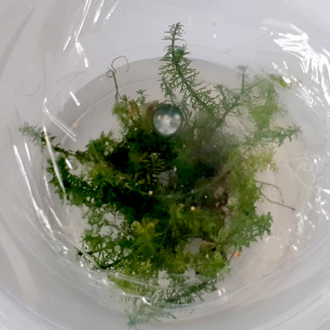 "Myriophyllum ""Guyana""/""Mini"" In-Vitro"
