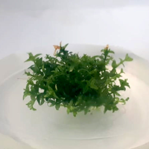Gratiola viscindula In-Vitro