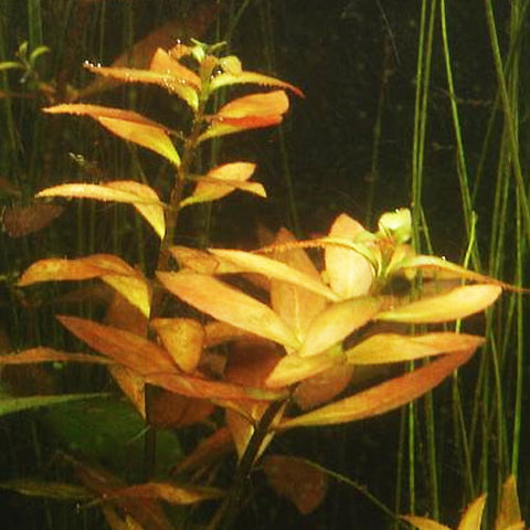 "AQUAPLANTASMX - Ludwigia repens ""narrow"" - Plantas"