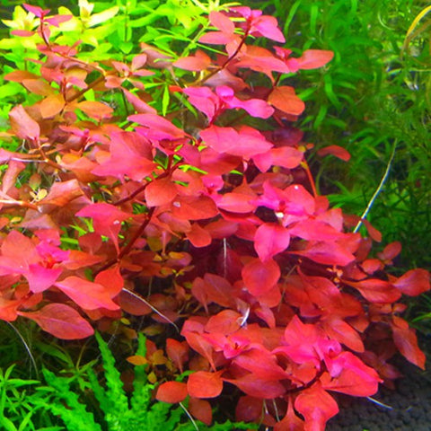 "Ludwigia ""Mini Super Red"" (X3)"