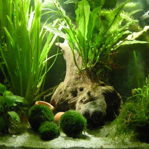 AQUAPLANTASMX - Marimo Ball Mediana - Plantas
