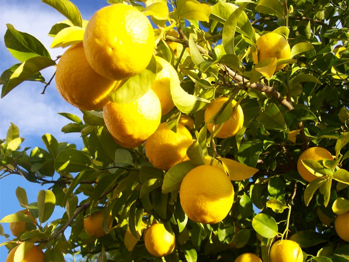 12 Medical Applications of Limonene 29