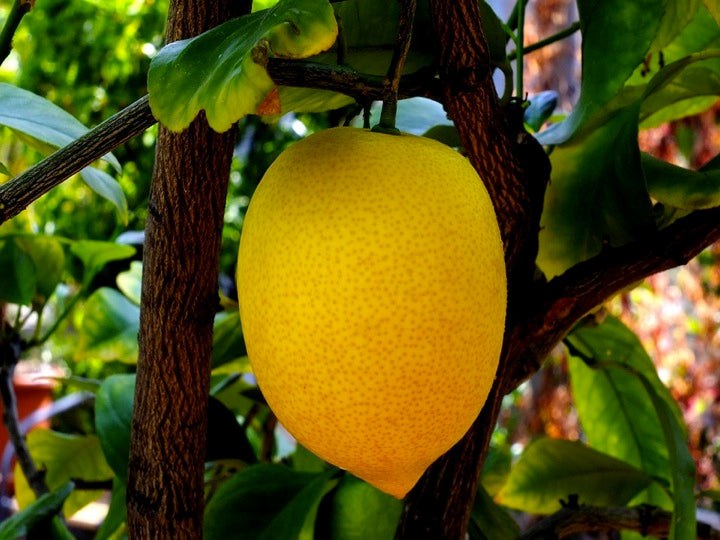 12 Medical Applications of Limonene d