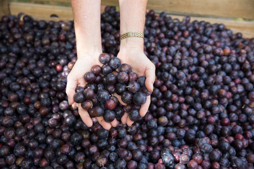 Health Benefits of Damson Plums.