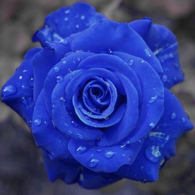 Hypnotic Holographic Enchanted Fairytale Rare Rose Magical Flower Seedlings for Mystical Bonsai Garden (100 pcs) Bonsai Zijin2017 bonsai Store Royal Blue