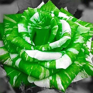 Hypnotic Holographic Enchanted Fairytale Rare Rose Magical Flower Seedlings for Mystical Bonsai Garden (100 pcs) Bonsai Zijin2017 bonsai Store Green White