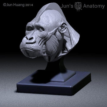 Eastern/Mountain Gorilla closed-mouth head model