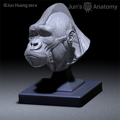 Western Lowland Gorilla closed-mouth head model