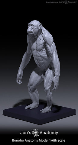 Bonobo Anatomy Model 1/6th scale
