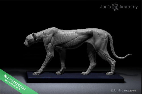 Cheetah Anatomy model 1/6th scale - flesh & superficial muscle ...