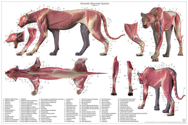 Cheetah Anatomy Poster V Grande on Large Picture Of An Open Mouth Diagram