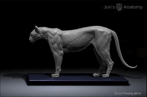 cougar anatomy model 16th scale flesh amp superficial