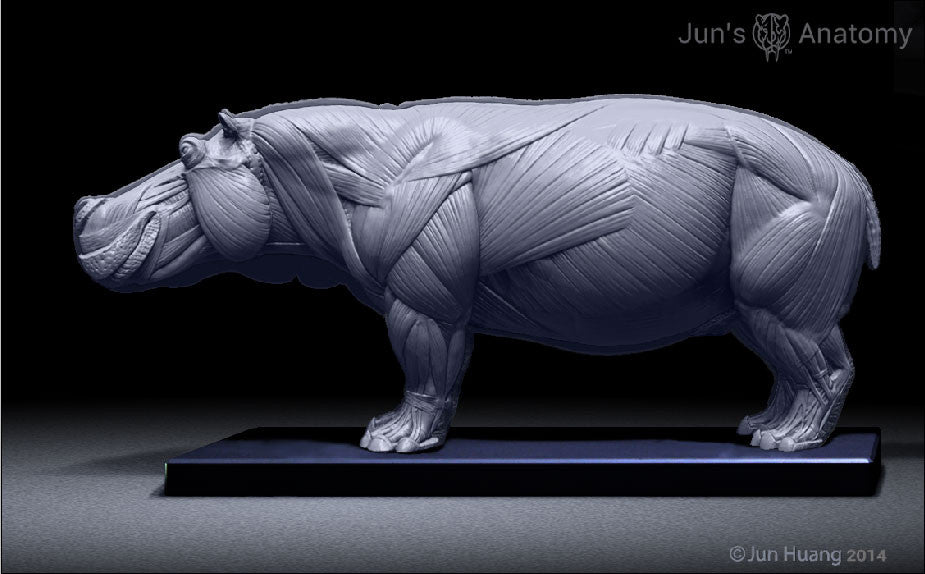 Hippopotamus Anatomy model 1/16th scale - flesh & superficial muscle
