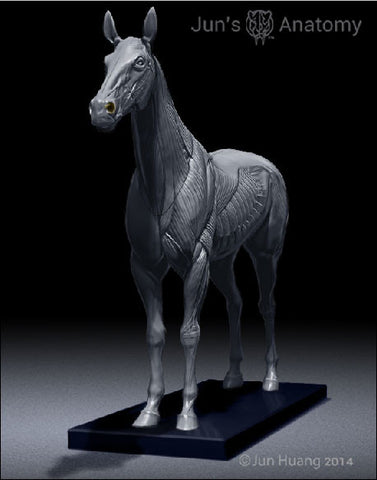 Horse Anatomy Model 1/10th scale - flesh & superficial muscle