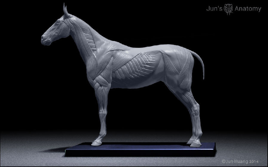 Horse Anatomy Model 1/10th scale - flesh & superficial muscle ...
