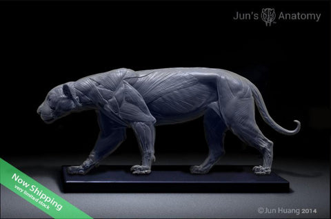 Jaguar Anatomy model 1/6th scale - flesh & superficial muscle