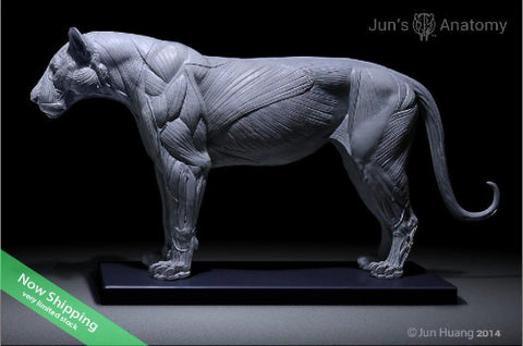 Lion Anatomy model 1/6th scale - flesh & superficial muscle