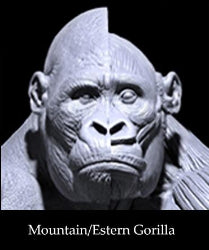 Eastern/Mountain Gorilla Anatomy model 1/6th scale v.1
