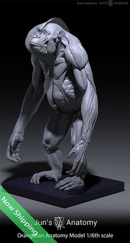 Orangutan Anatomy Model 1/6th scale