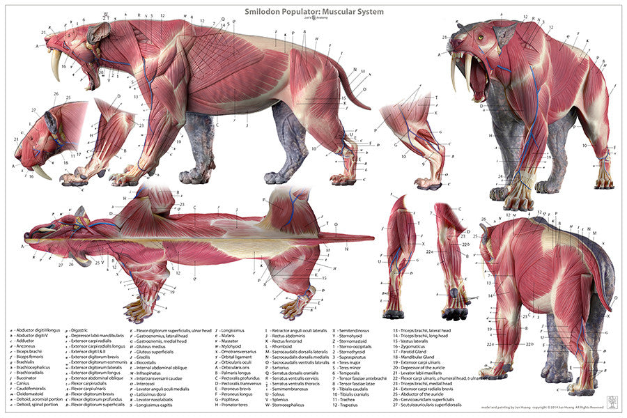 Big Cats Anatomy – Jun\'s anatomy