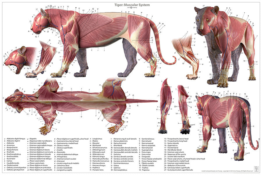 Tiger Anatomy Chart