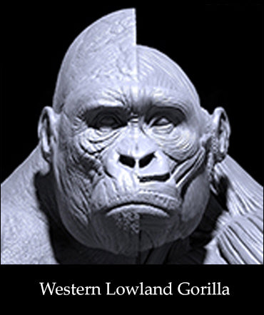 Western Lowland Gorilla Anatomy model 1/6th scale v.1