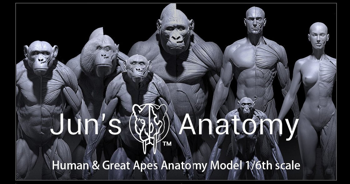 anatomy, animal, reference, ape, apes, gorilla, chimp, chimpanzee, orangutan