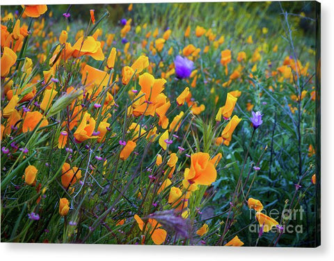 California Poppies during the 2019 Superbloom - Acrylic Print
