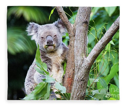 Koala at the Animal Sanctuary in Currumbin Queensland - Blanket