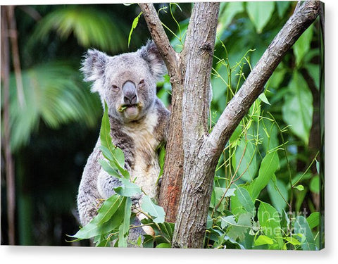 Koala at the Animal Sanctuary in Currumbin Queensland - Acrylic Print