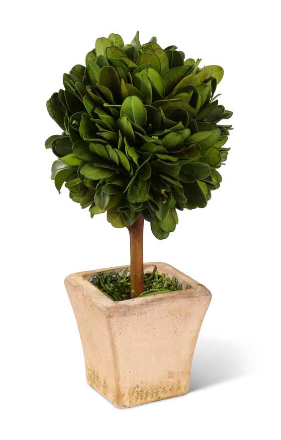 6 Inch Preserved Boxwood Mini Topiary in Pot