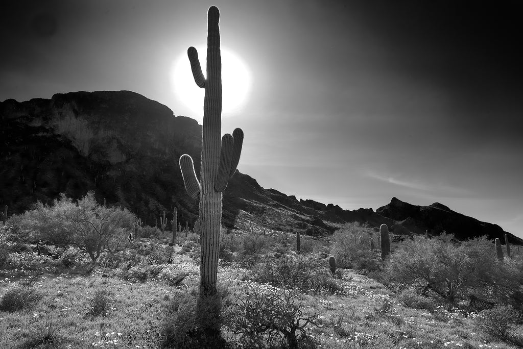 B&W wildflowers at Picacho Peak