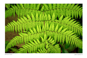 Brilliant Ferns
