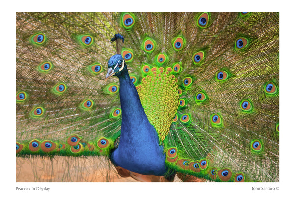 Peacock In Display