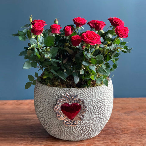 Beating Heart Rose Plant | Highgate Flowers