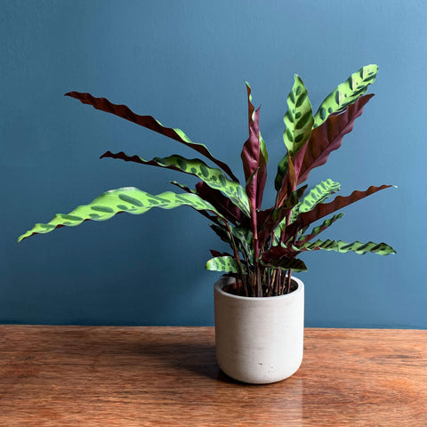 Calathea Indoor Plant | Highgate Flowers