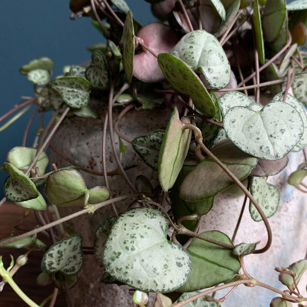 Chain of Hearts Plant, Detail | Highgate Flowers