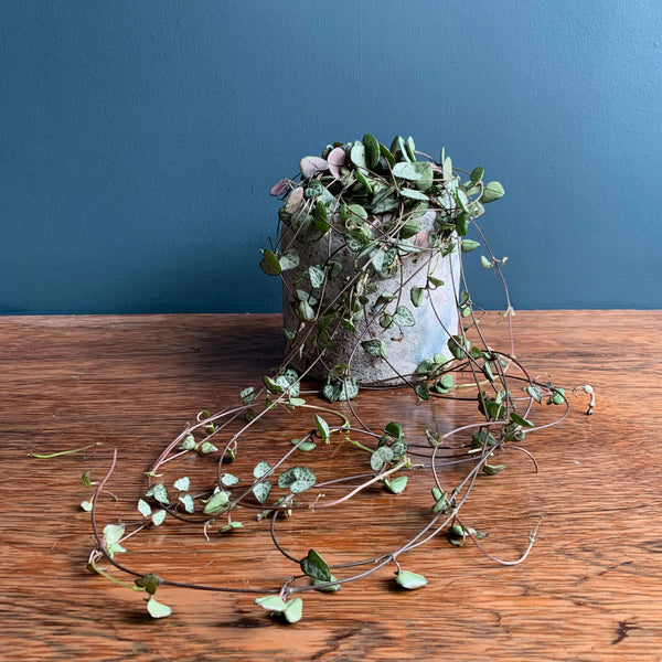 Chain of Hearts Indoor Plant | Highgate Flowers