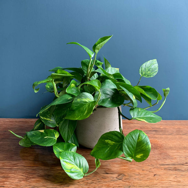 Devil's Ivy Indoor Plant | Highgate Flowers