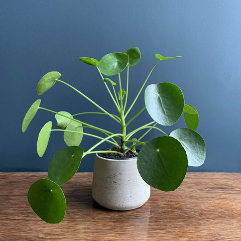 Chinese Money Plant | Pilea | Highgate Flowers