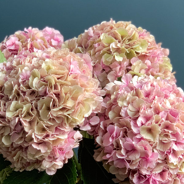 Pink Hydrangea Bouquet, Close Up | Highgate Flowers