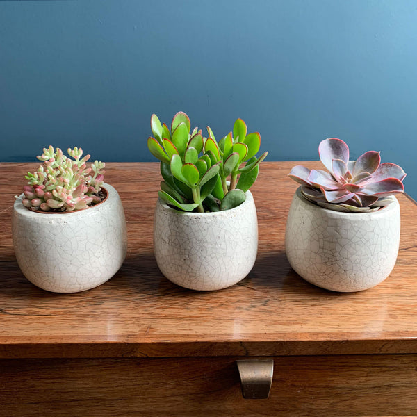 Three Succulents in Pots | Highgate Flowers