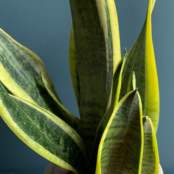 Snake Plant, Close Up | Highgate Flowers