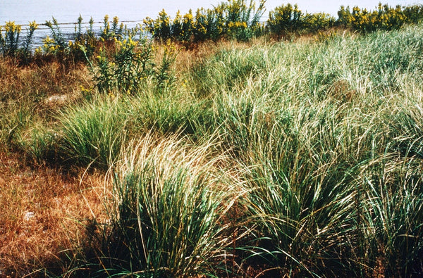Native Stand American Beachgrass